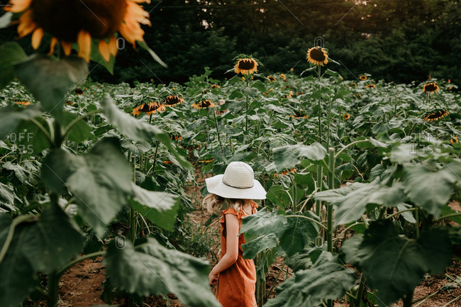 Rear view of young girl walking in a sunflower field