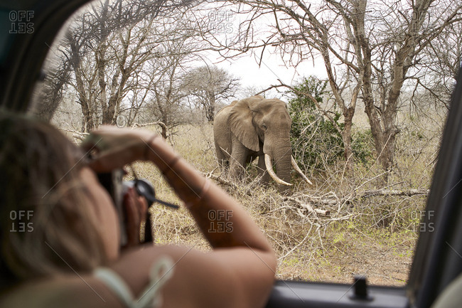 Woman taking a picture of an elephant from the car window- Kruger National Park- Lesotho- Africa