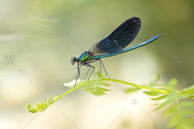 Close-up of beautiful demoiselle on plant- Corsica- France