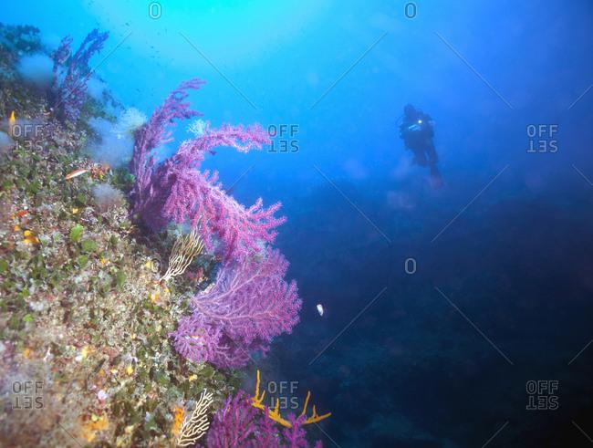 France- Corsica- Tizzano- Underwater view of scuba diver swimming toward violescent sea-whip