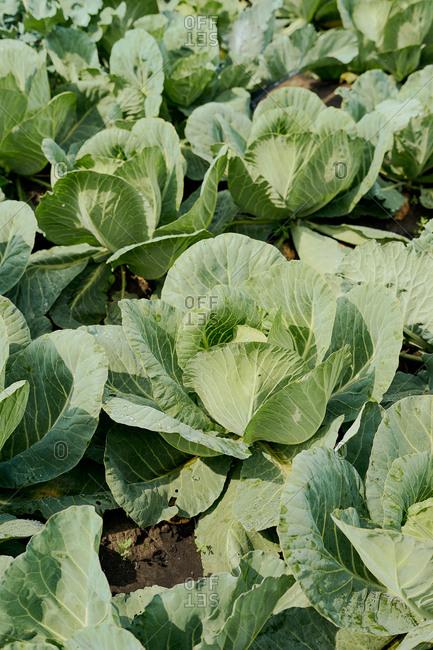 Cabbage field on an organic farm