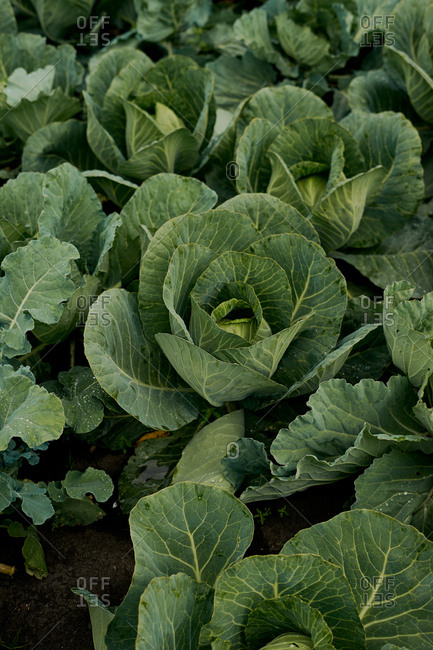 Close up of cabbages on an organic farm