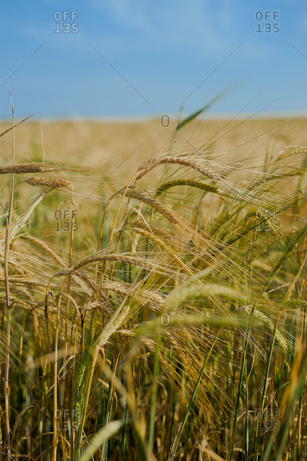 Wheat blowing against the wind