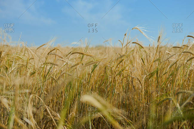Wheat field blowing against the wind