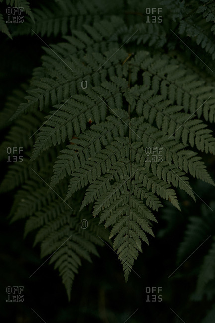 Fern and its leaves on a dark background in the wild forest