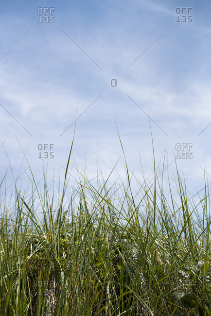 Long grasses with blue sky