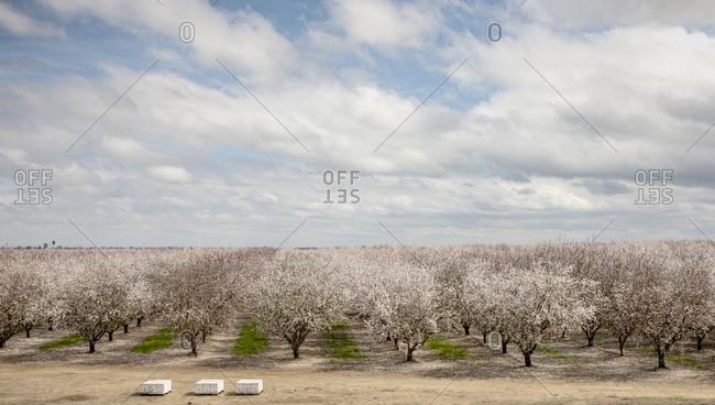 Vast orchard of almond trees