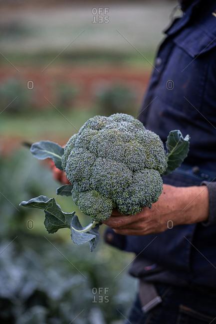 Farmer picking fresh broccoli