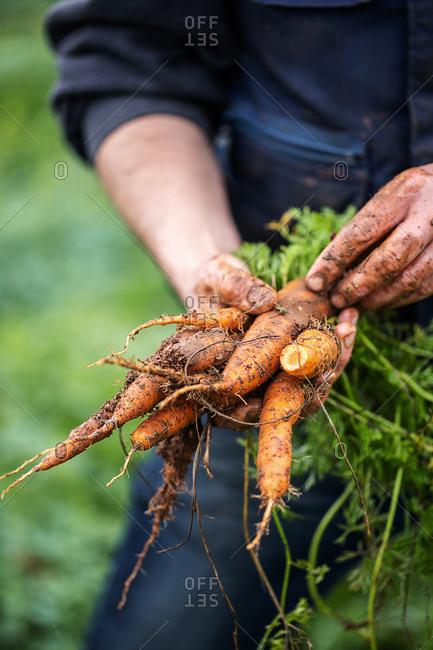 Farmer picking fresh carrots