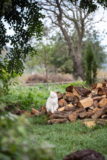 White fluffy cut sitting on a pile of firewood