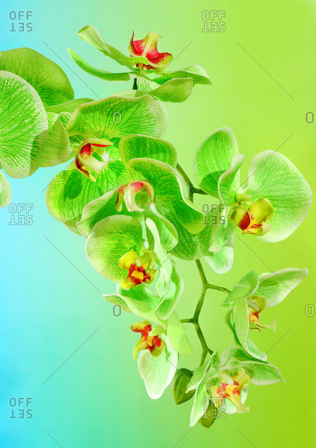 Studio photography of plastic orchids on green and blue background.