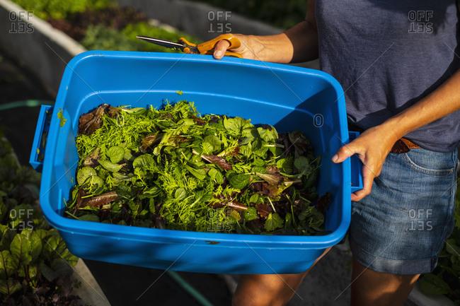 Farmer harvesting fresh salad greens in bin