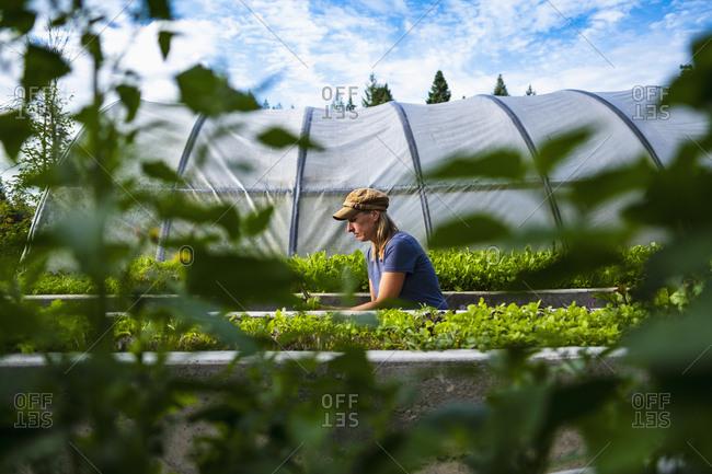 Female farmer tending to vegetable plants outside greenhouse