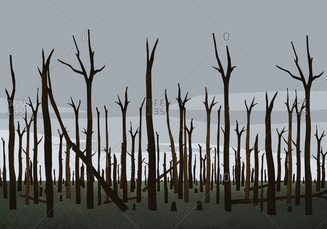 Burned trees in woods after forest fire
