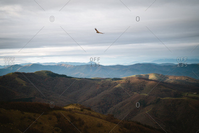 A griffon vulture flying above the Basque Country mountains searching for food