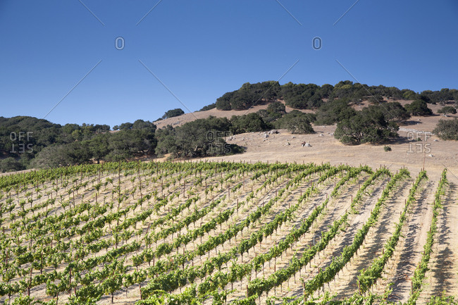White wine grapes about to be harvested, Napa Valley, California, USA