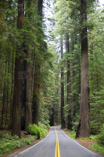 Tree lined road of redwoods in California, USA