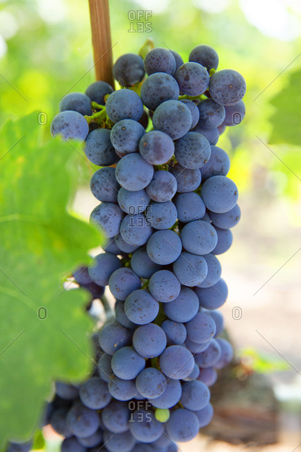 Wine grapes about to be harvested, Napa Valley, California, USA