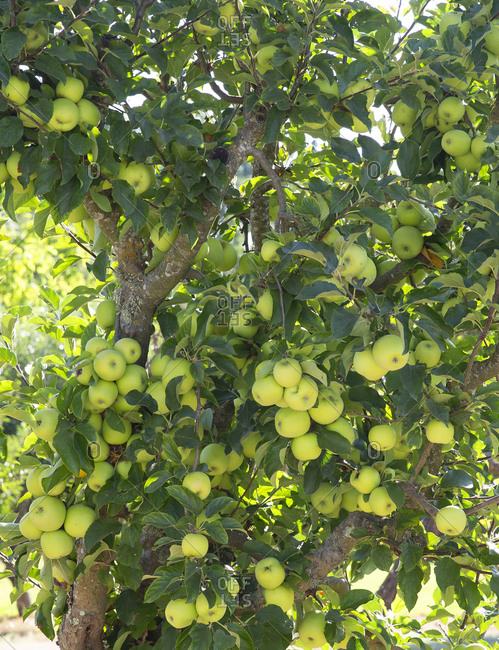 Green apple tree planted for bees near vineyards in Napa Valley, California, USA