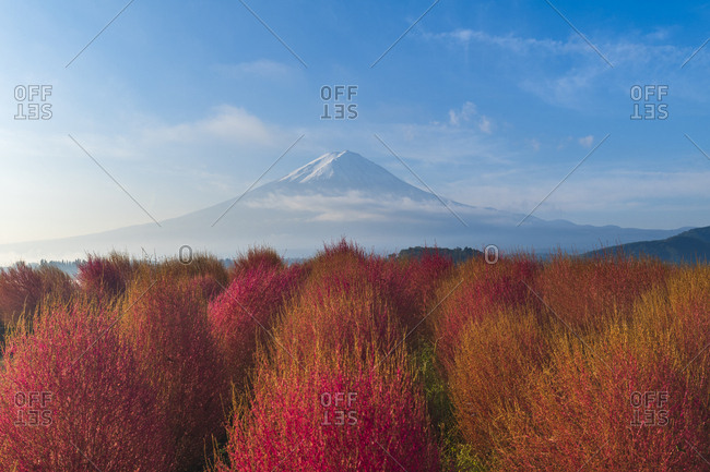 Morning view of Mount Fuji with Kokia bushes in Autumn colors from Oishi park, Yamanashi Prefecture, Japan