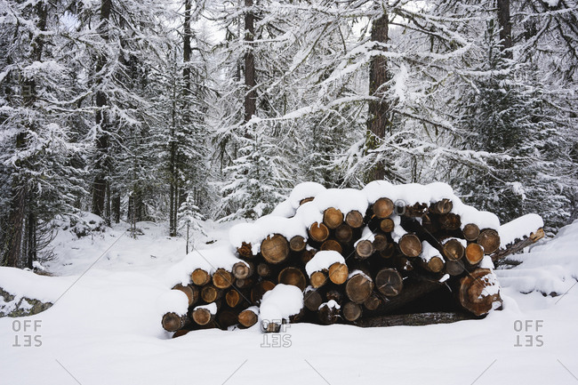 Wood covered by snow- Engadin- Switzerland