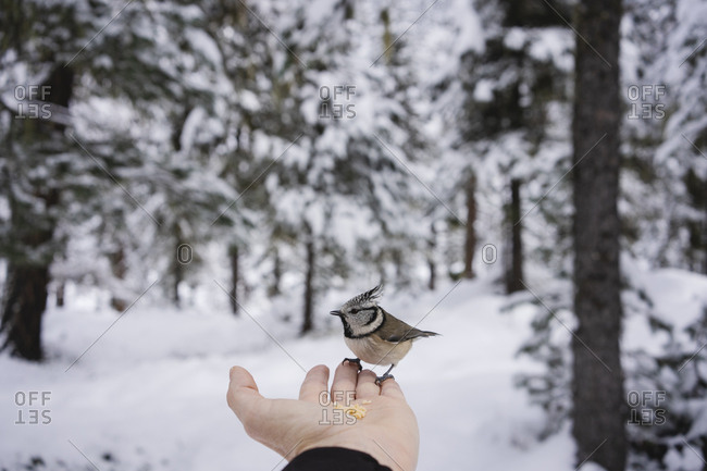 Little bird eating from the female hand in the snowy forest. Engadin- Switzerland