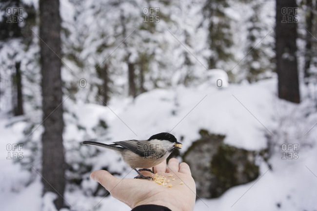 Little bird eating from the female hand in the snowy forest- Engadin- Switzerland