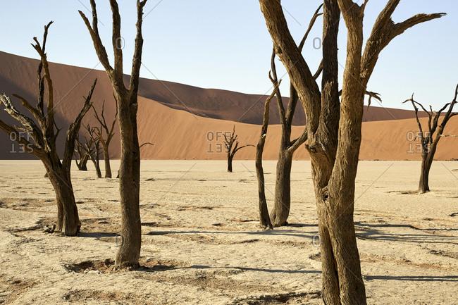 Dead trees in Deadvlei- Sossusvlei- Namib desert- Namibia