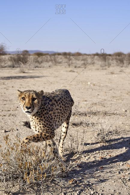 Cheetah in the savanna- Damaraland- Namibia