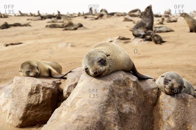 Sea lions colony on the beach- Cape Cross- Namibia.