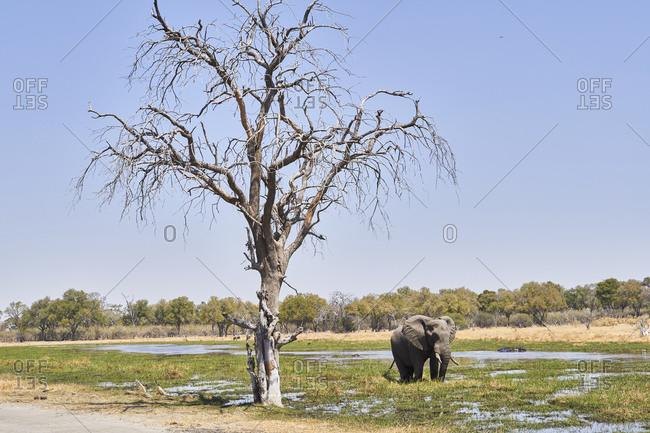 Elephant walking in the river- Khwai- Botswana
