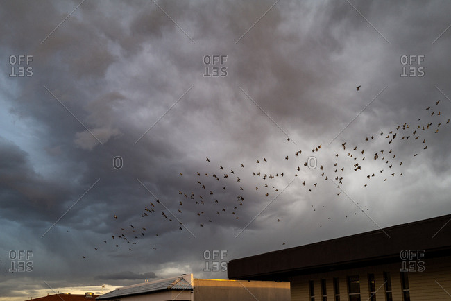 A murmuration of birds after a storm in the desert