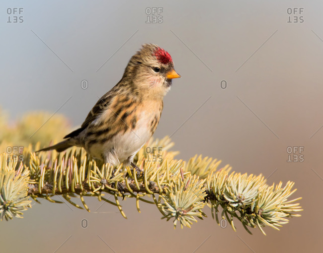 Common Redpoll (Acanthis flammea) perches on a spruce tree in Saskatchewan, Canada
