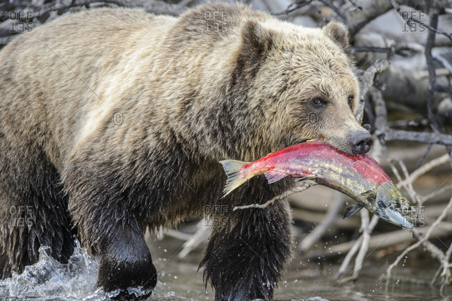 Grizzly bear (Ursus arctos) walking with sockeye salmon in Chilcotin Wilderness, BC Interior, Canada