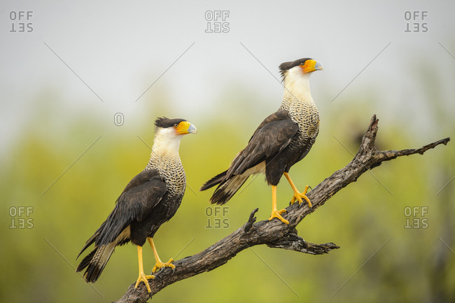 Crested Caracara (Caracara plancus) in Santa Clara Ranch, Starr County, Texas, USA