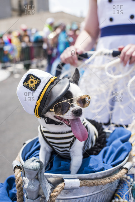 Dog in costume at the 37th Annual Mermaid Parade, Coney Island, Brooklyn, New York