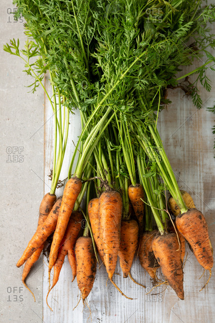 Harvest of a bunch of carrots