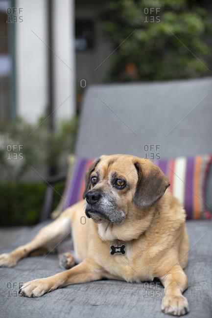 Senior puggle dog relaxing on patio furniture