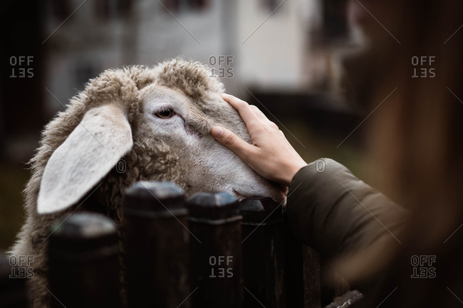 Crop female faceless traveler in casual jacket stroking sheep through wooden fence on blurred background at Dolomites mountains at Italy