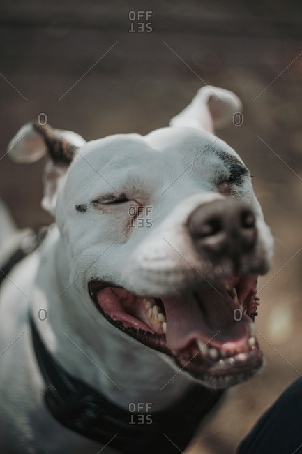 Closeup of cheerful Staffordshire terrier with opened mouth and closed eyes walking in street