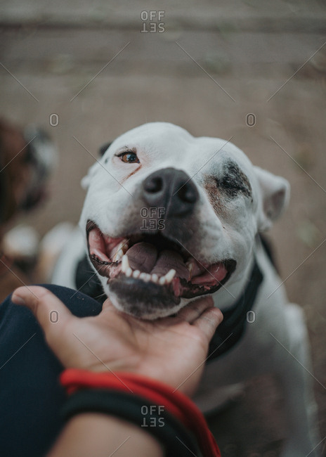 Excited Staffordshire terrier with opened mouth enjoying care  spending time with owner stroking pet in street looking at camera