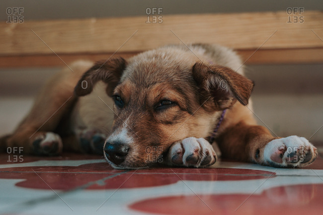 Closeup of exhausted mongrel puppy lying on paws looking at camera at inside of building