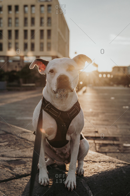 Adorable Staffordshire terrier in harness with leash spending time sitting on ground in urban street looking at camera in back lit