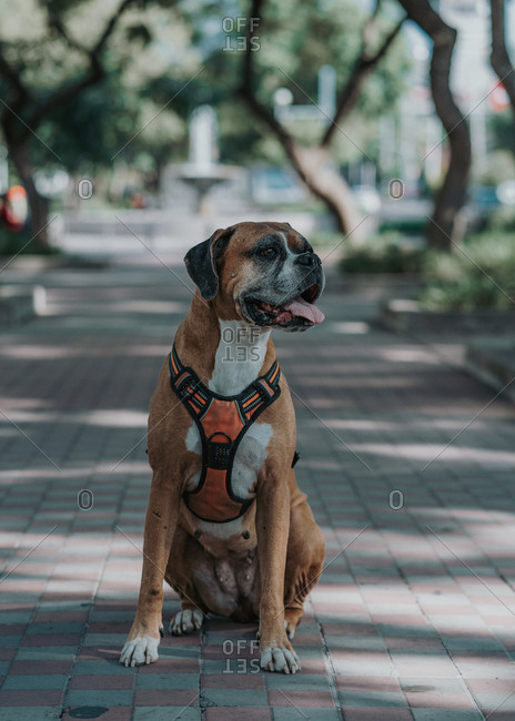 Happy boxer dog in harness opening out tongue spending time sitting on ground in street looking away on sunny day