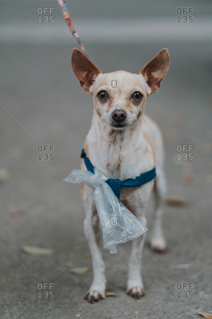 Small dog with leash and plastic bag spending time walking in street looking at camera