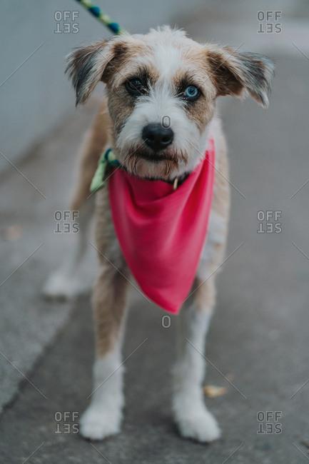 Happy mongrel dog walking in street