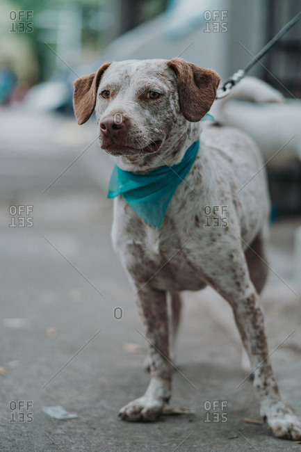 Cute mixed breed dog with leash in bandana strolling in street looking at camera