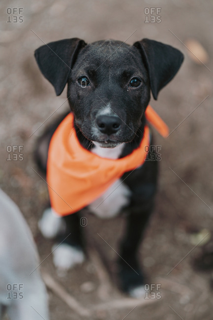 From above of serious mixed breed pup in bandana sitting on ground in street looking at camera