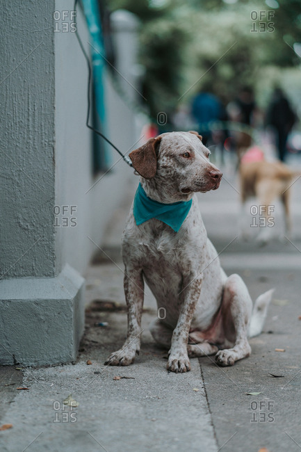 Serious mixed breed dog walking in street