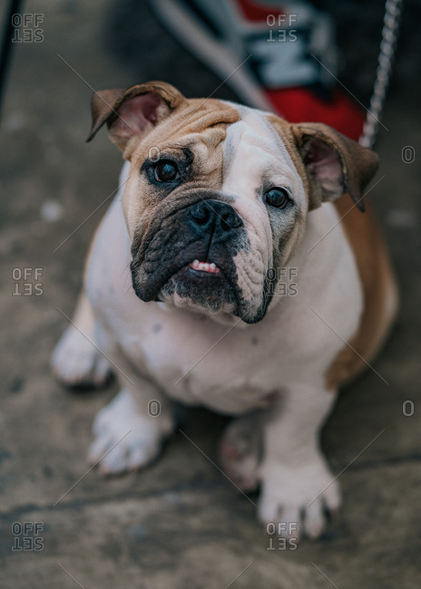 From above of cute bulldog sitting on ground looking at camera spending time in street